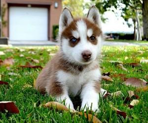 dog, brown, and husky image