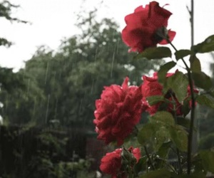 rose, flowers, and rain image
