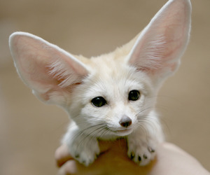 animal, fox, and fennec fox image