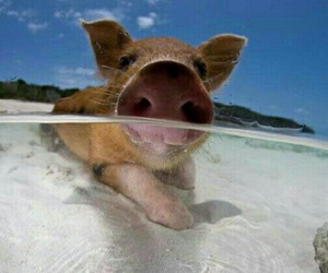 pig, cute, and beach image