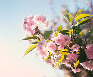 cherry blossom, etsy, and fine art photo image