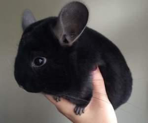 black, Chinchilla, and cute image