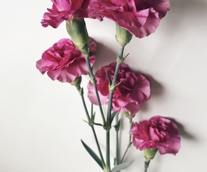 art, carnations, and dark pink image