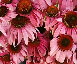 flower, pink, and echinacea image