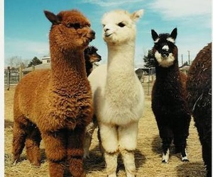 animal, alpaca, and llama image
