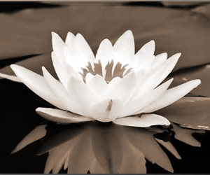 flowers, lotus, and reflection image