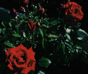 dark, red, and roses image