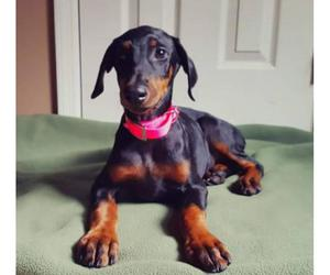 doberman, dogs, and puppies image