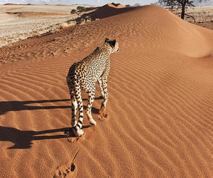 animal, desert, and leopard image
