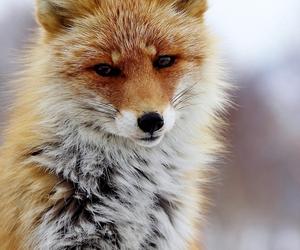 animali, fox, and volpe image