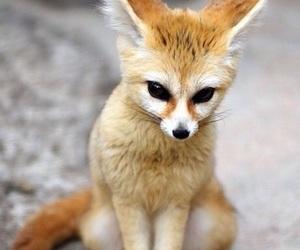animal, fox, and fennec image