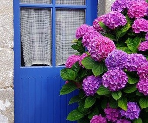 blue, colorful, and hortensias image