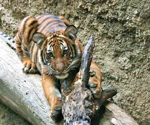 ae, tiger cub, and vertical image