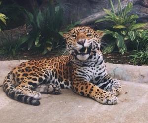 animal, cat, and jaguar image
