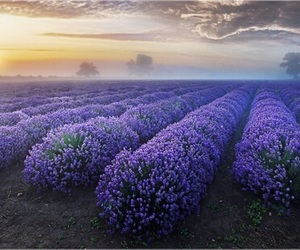 beauty, lavender, and field image
