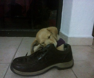puppies, shoe, and doggos image