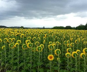 clouds, sky, and sunflowers image