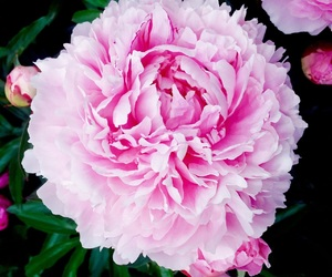 beauty, flower, and peony image