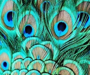 feathers and peacock image