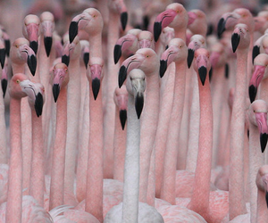 pink, flamingo, and bird image