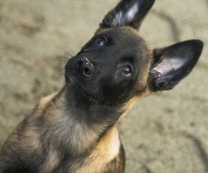 dogs, german, and puppies image