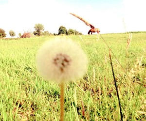 dandelion, flowers, and july image