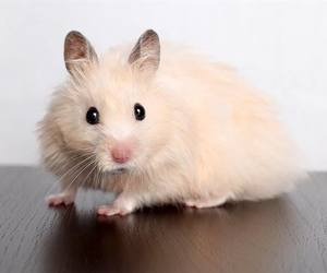 baby animals, cute animals, and hamster image