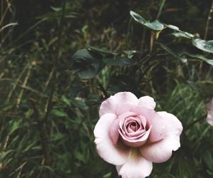 drama, pink, and rose image