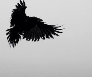 black and crow image