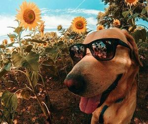 dog, sunflower, and animals image