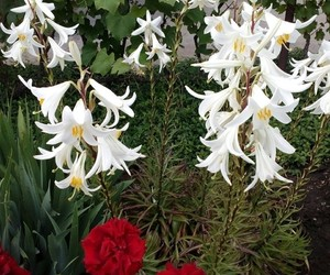 flowers, vampireacademy, and lilies image