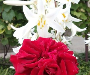 lilies, roses, and redrose image