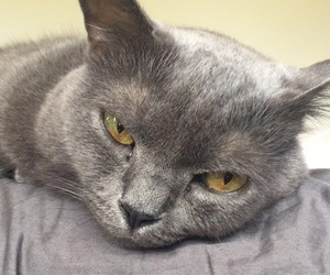cat, grey, and pretty image