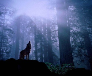 wolf, forest, and night image