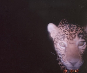 animal, leopard, and night image