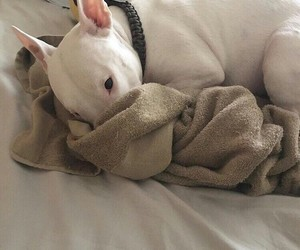 beautiful, bed, and bull terrier image