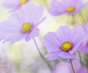 autumn, cosmos, and flower image