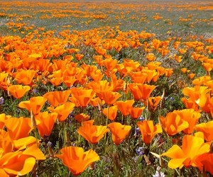 field of flowers, flowers, and orange image