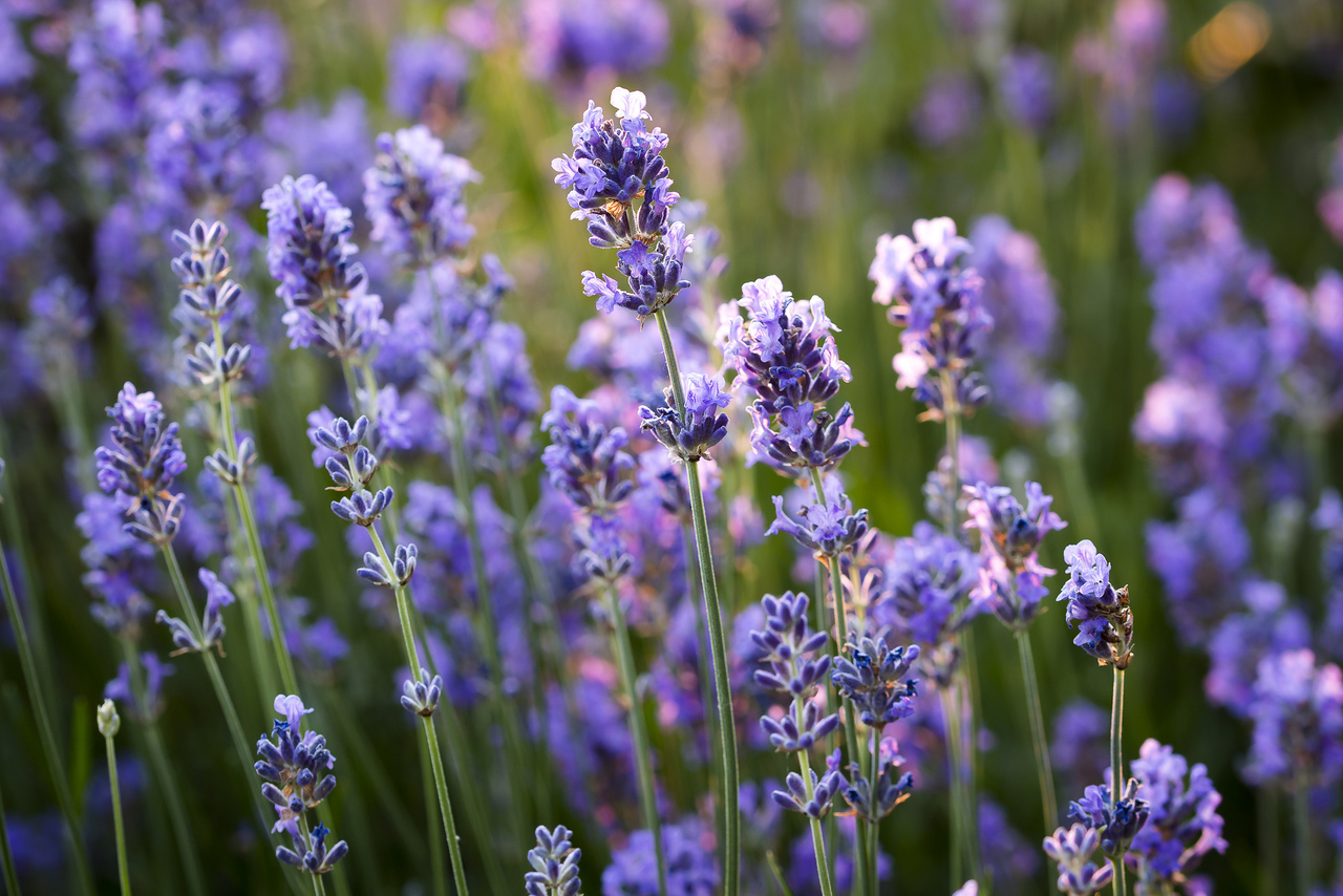 flowers, sun, and lavendel image