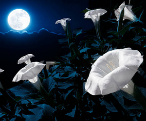 blooming, night, and flowers image