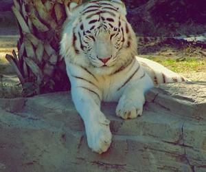 tiger, animal, and white tiger image
