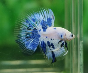 betta fish image