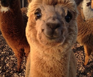 adorable, fluffy, and llama image