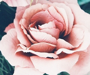 rose, pink, and flower image