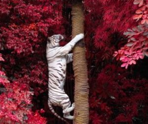 white tiger and wild image