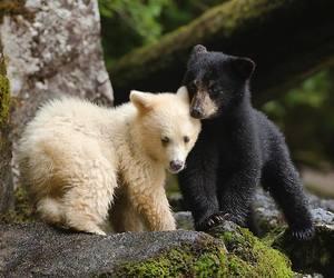 baby animals, bear cub, and bears image