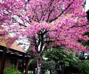 cerejeira image