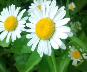 aesthetic, beauty, and daisy image