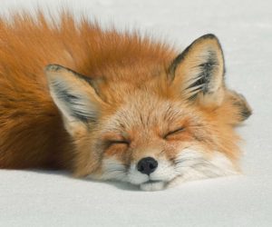 fox, animal, and sleep image