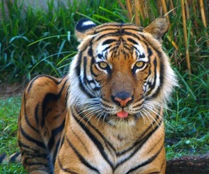 big cats, cute animals, and tiger image